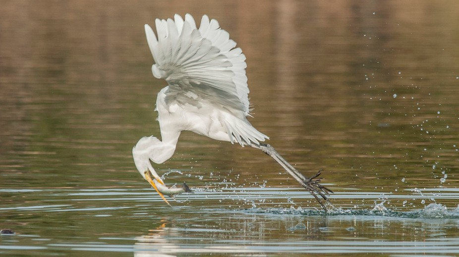 This Great Egret stole this trout from a Ring-billed Gull who dropped it momentarily.Taken at Sun...