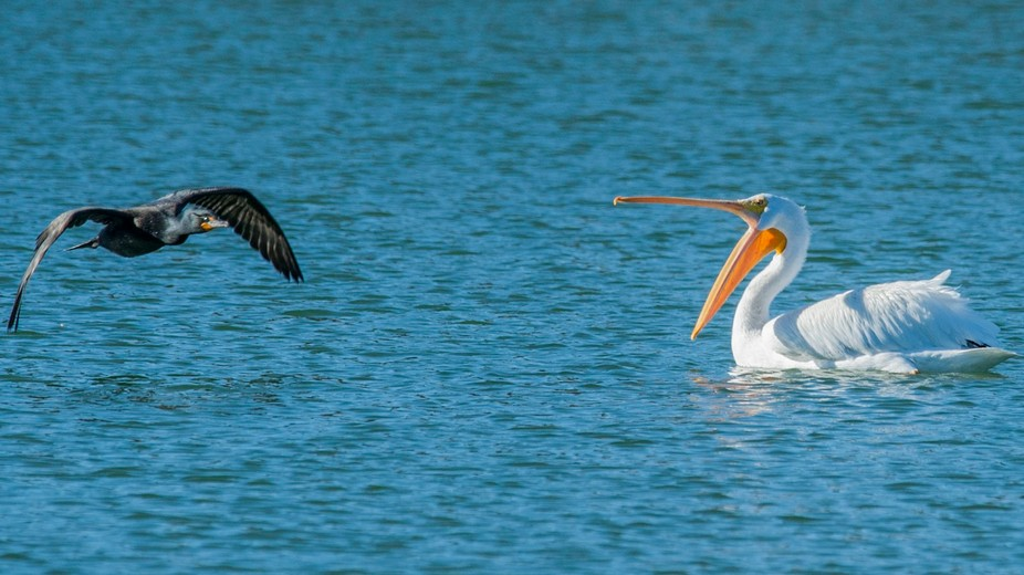 A Pelican yelling at a Cormorant to stay away. Taken at Sunset Park Pond_Las Vegas