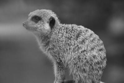 Meerkat Study #32