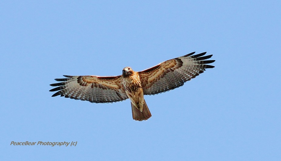 This fabulous Red Tailed Hawk was flying about 25 feet above my head, while I was trying to photo...