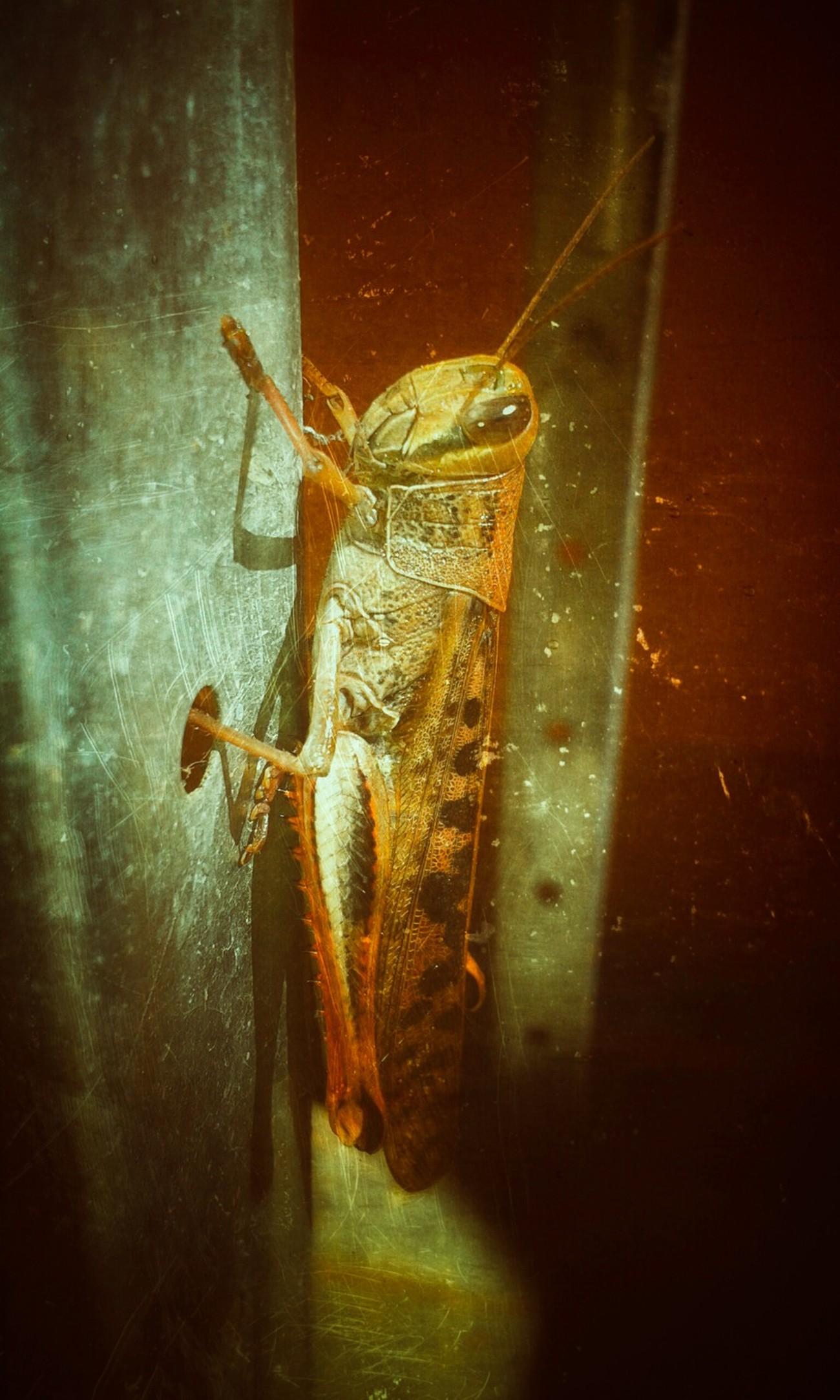 Grasshoppper