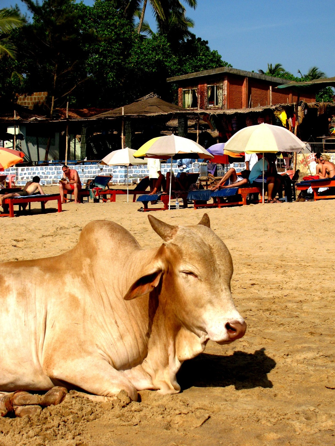 When living or traveling in India you come across cows in the most unlikely of places ...