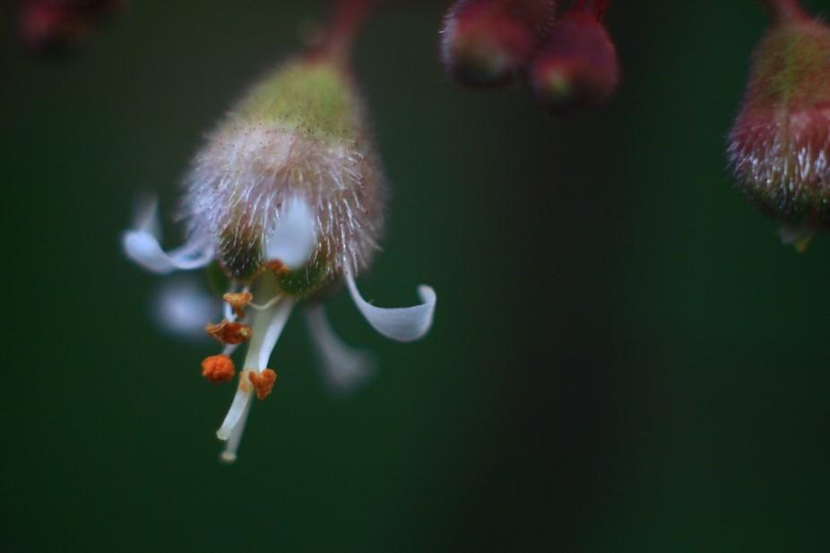 A single Heuchera flower