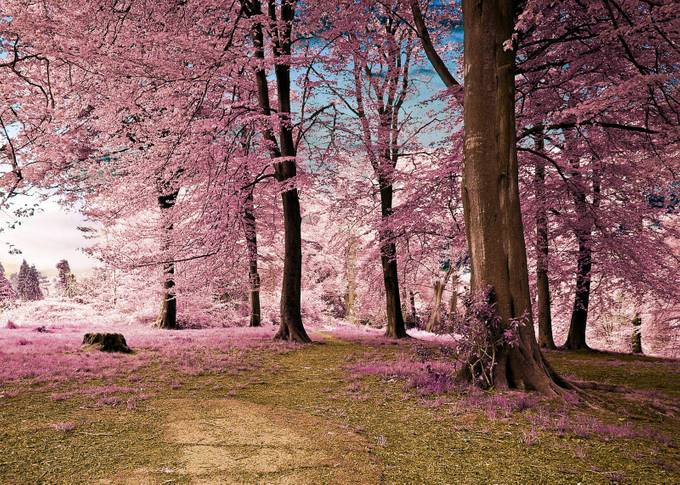 Woodland Grove infrared by robertlittle - Pink Photo Contest