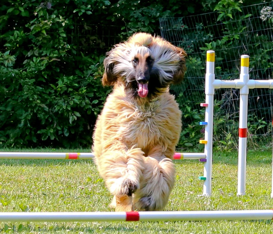 I enjoy shooting agility shows. This gorgeous Afghan was in a training session on a hot summer da...