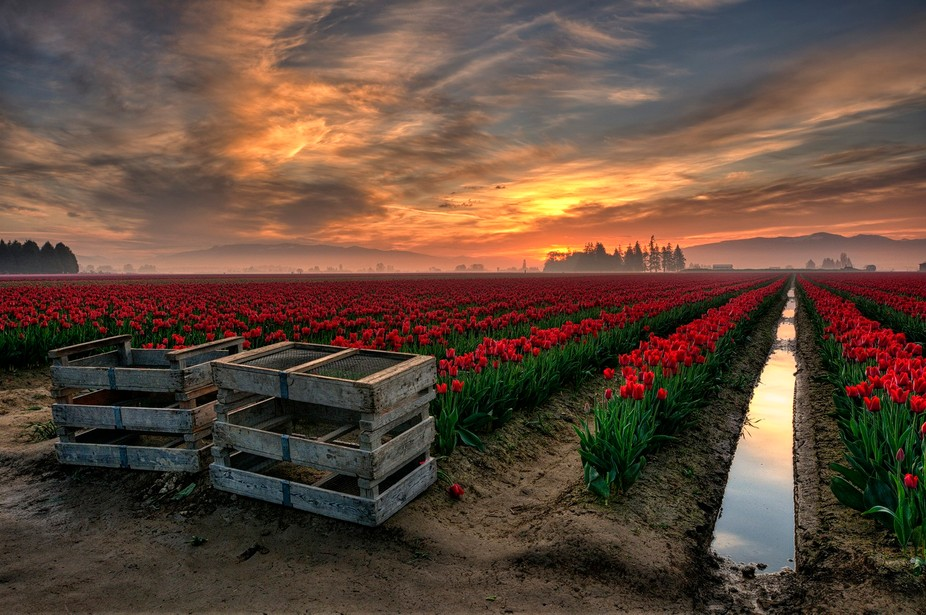 Tulip Festival in the Skagit Valley, WA