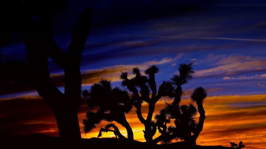 Desert Joshuas