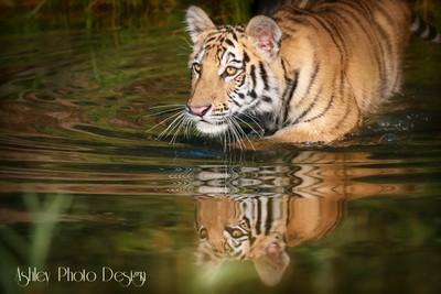 Sandy_Ashley-TigerTiger
