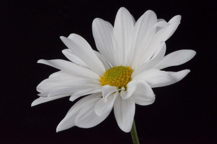 White daisy on black background