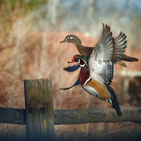 A male and female wood duck take flight from a fence post.