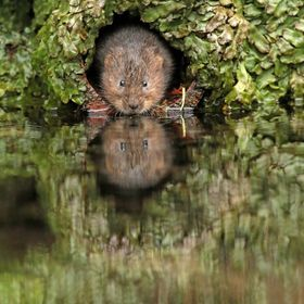 Water vole emerging from a drain pipe in a stone wall