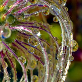 This Autumn image is of frozen dew drops formed on the Old Man's Beard of a Clematis vine.