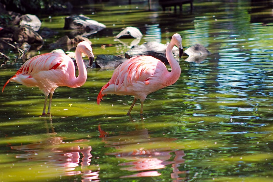 This image was captured at the Denver Zoo. I chose the flamingo because of the social nature of t...