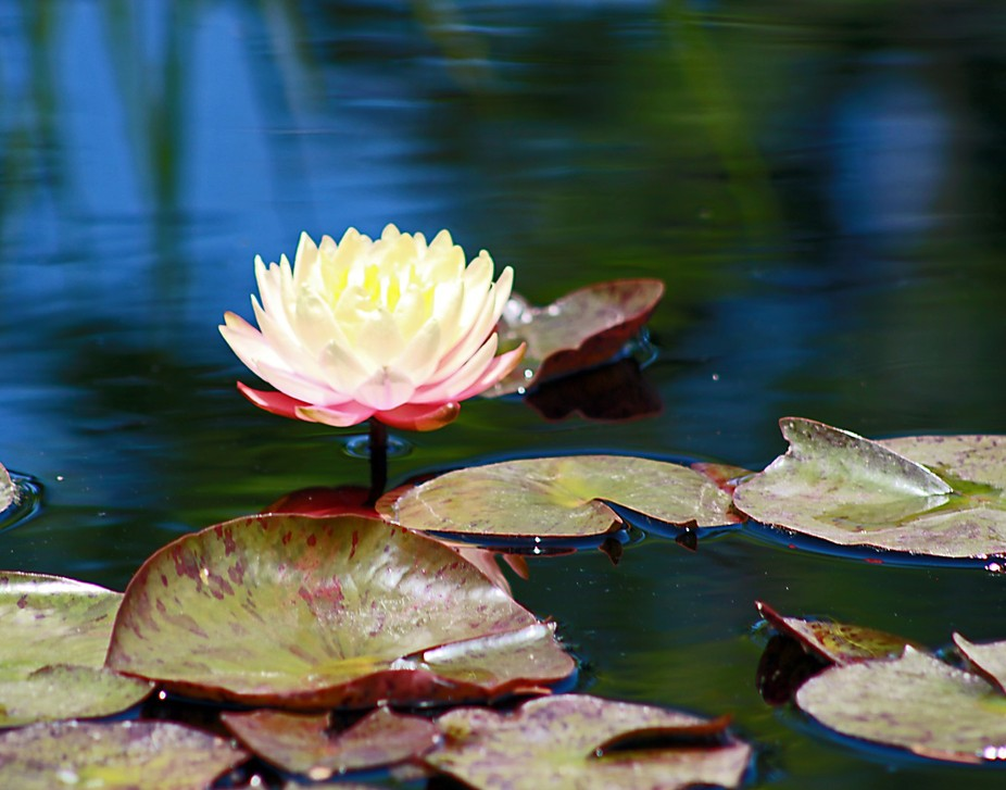 The Denver Botanic Gardens has the most beautiful exhibit of lilies and pads in their waters. The...