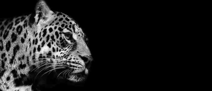 B&W Leopard by michelleemiliepetrash - Black And White Compositions Photo Contest