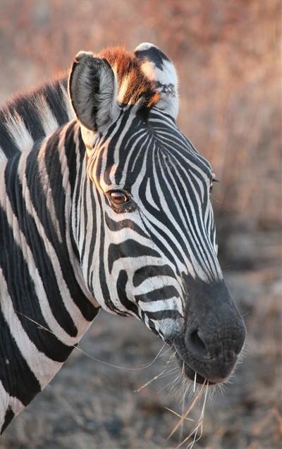 Zebra Portait