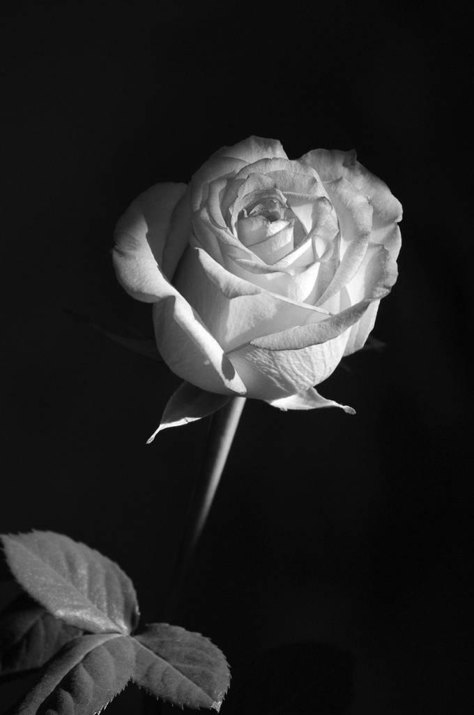 36 Beautiful Shots Of Black And White Flowers Enjoy The Photo Contest Finalists Viewbug Com