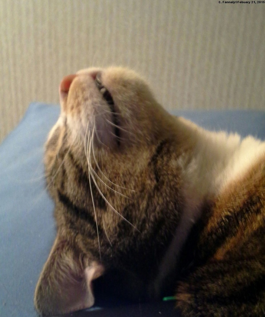 This is my cat Silky.  When she is laying on her side and wants the top of her head scratched, she throws it back towards me and the view I get it an upside down possum grin.  Lol.  Febuary 21, 2015