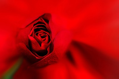 Rose  blur