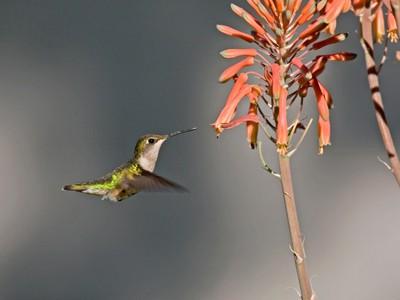 3145 Hummingbird