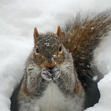 A grey squirrel sitting in the snow eating seeds.