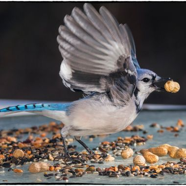 Peanut snatcher; this blue jay is particularly flighty --- he likes to grab and run. I was lucky enough to catch him as he was taking off with his prize.