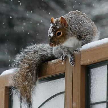 A grey squirrel sitting on a wooden privacy screen in the snow.