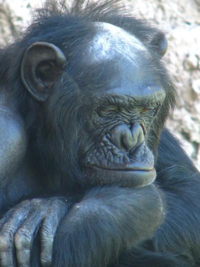 Gorila meditabundo