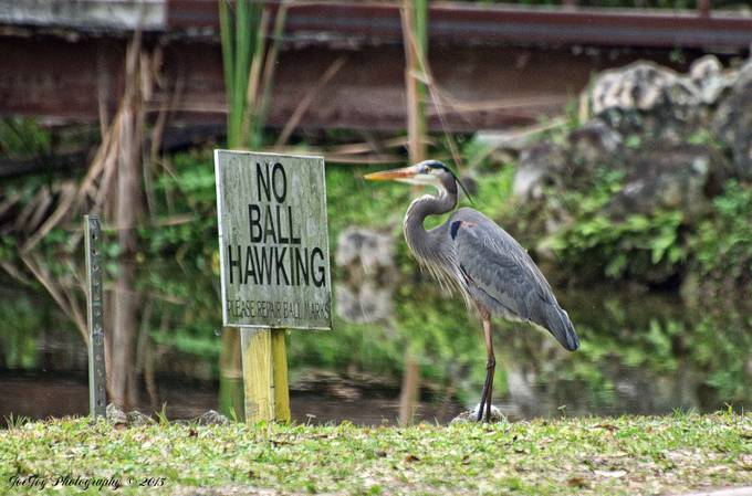 Taken with Nikon D5000 using AF-S Nikkor 70-300mm 1:4.5-5.6 G lens. Enhanced and resized using onOne Perfect Photo Suite 9.  The heron is a little bit out of focus in this shot, but I like it because it looks like it is reading the sign.
