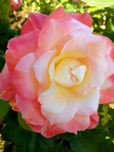 roses are pink and yellow