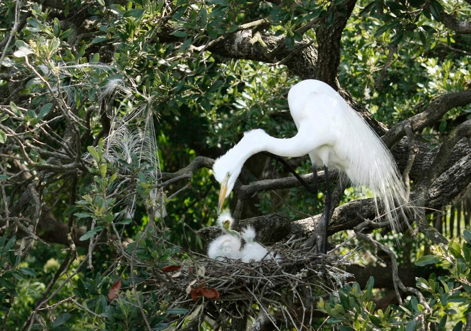 Mother Egret hung her preening feathers on the bush, then checked on her two babies.