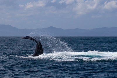 Humpback Whale Tail Slap in Dominican Republic