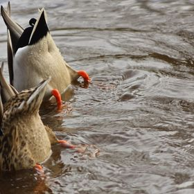 Just happened to catch male and female mallard ducks feeding at the same time.