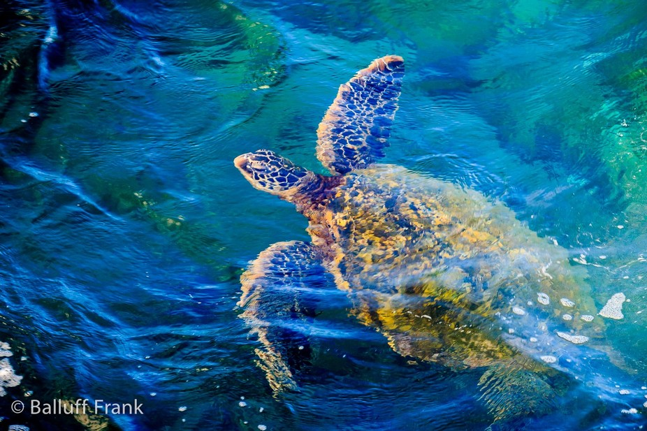 Took this photo a couple days ago on the Kapalua coast. There were about 8 giant green sea turtle...