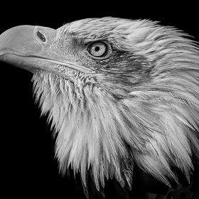 The Bald Eagle is a bird of prey found in North America. A sea eagle, it has two known sub-species and forms a species pair with the White-tailed...