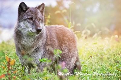 Dharma at wolf park
