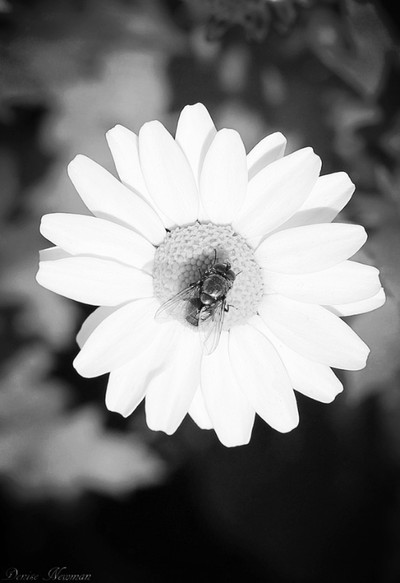 The daisy Fly ..