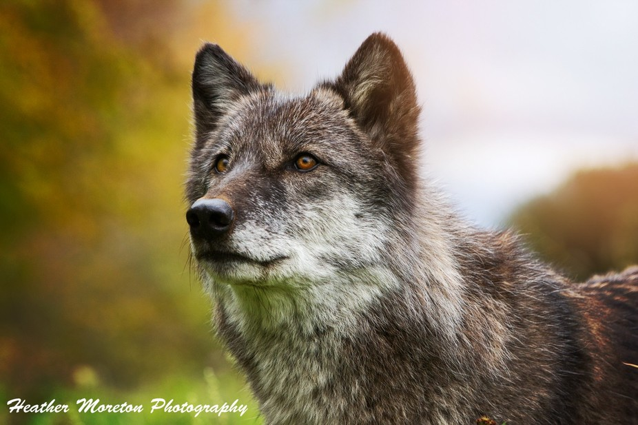 A photo of Dharma at wolf park in Indiana.  They unfortunately lost Dharma in June 2015.