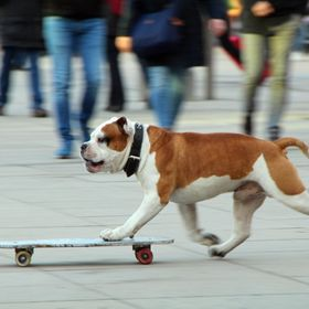 ... he was still learning but was already quite good - one more from my february moments in Berlin: The skateboarding bulldog ...   It was quite ...