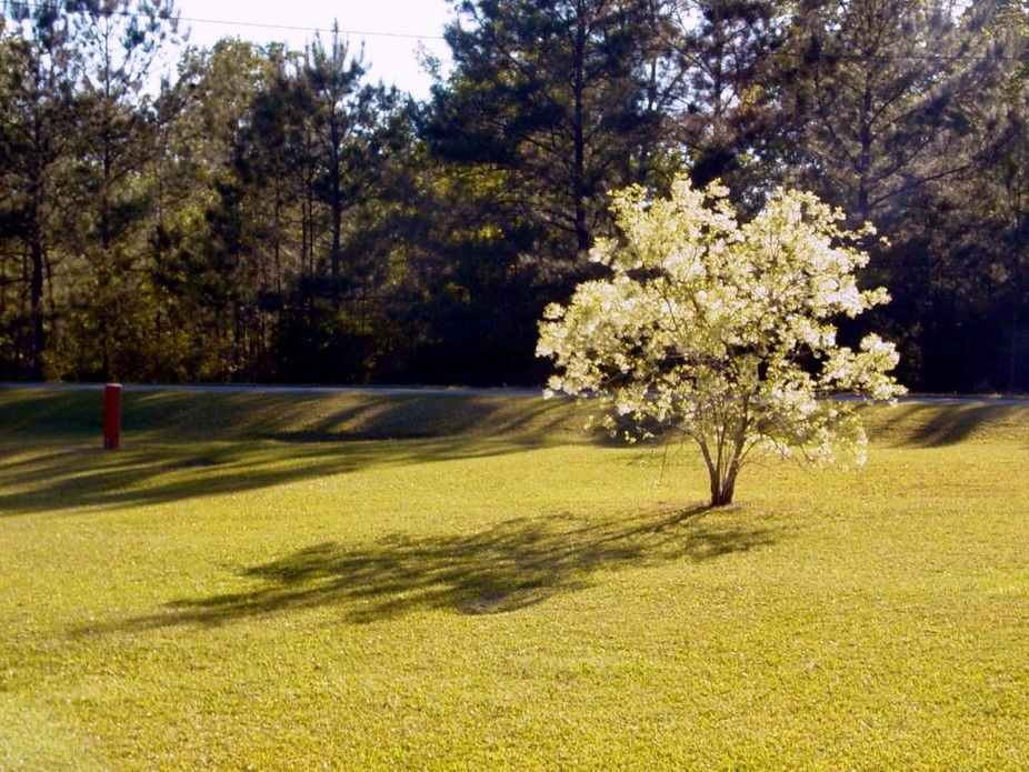 Setting sun shining through the blooms on the grancy graybeard in our front yard, sometime in the...