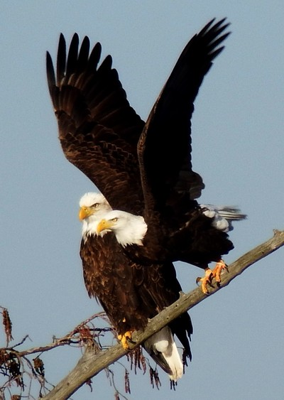 The beautiful couple. A pair of Bald Eagles.