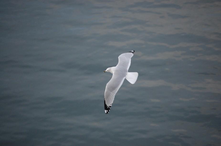 soaring seagull