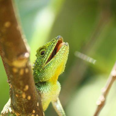 Lizards of Green