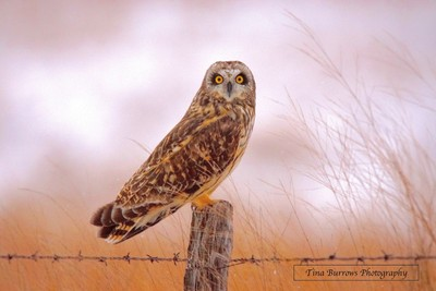 Owl on the Backroads