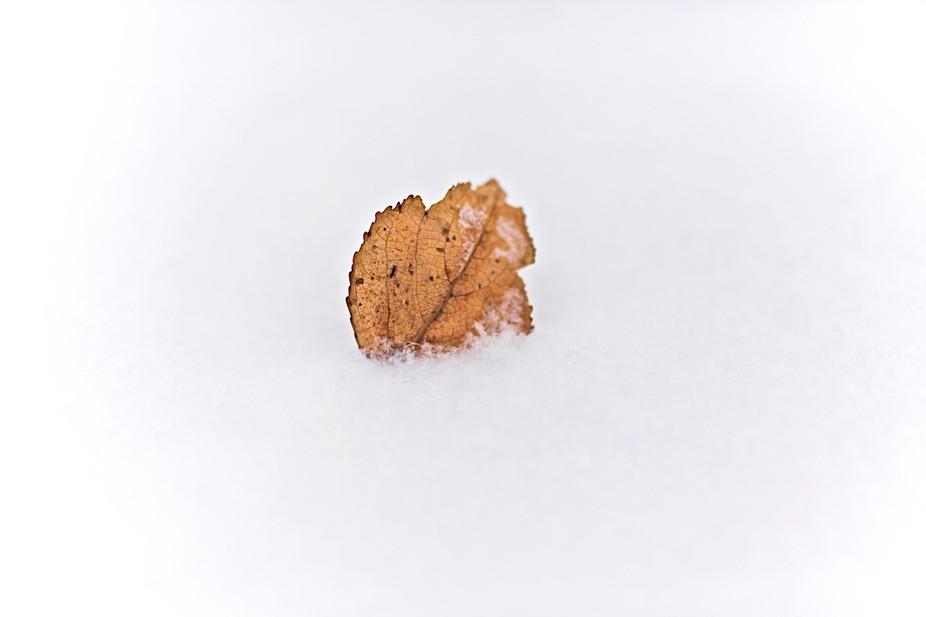 Leaf lying on top on snow, Sturgeon County, Alberta, Canada