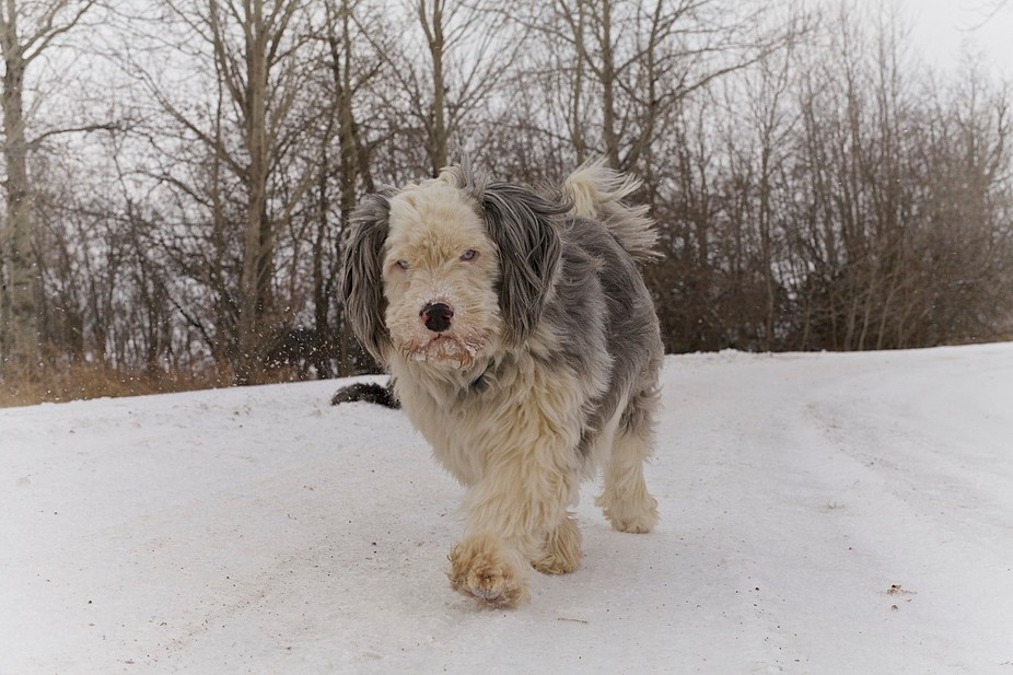 My silly, blue-eyed dog out for a stroll down my driveway.  She loves the cold and snow.  Who rea...