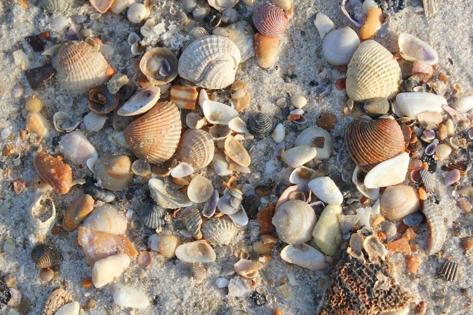 Shells fron the Gulf, Gulf Shores
