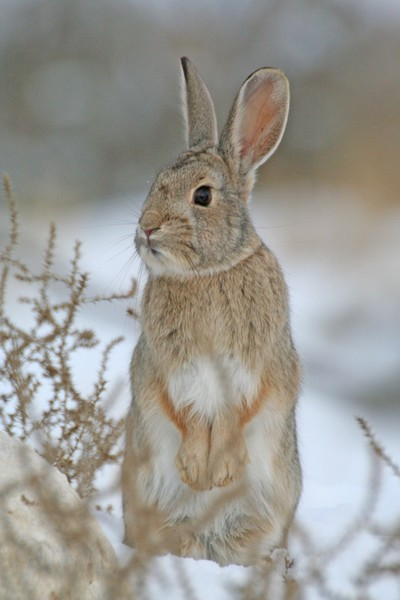 Cotton Tail Standing