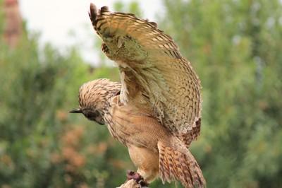 IMG_7243 Proud Owl