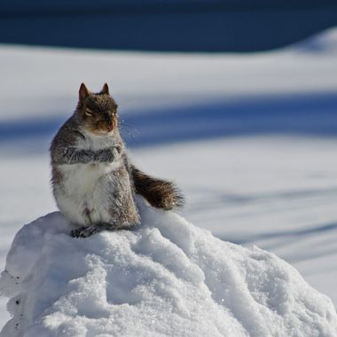 A grey squirrel snoozing on a snow mound.